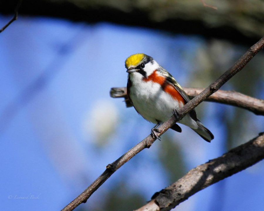 Chestnut-sided+Warbler