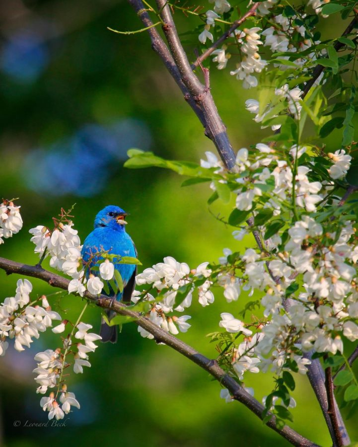 Science teacher Lenny Beck took this photo of a male indigo bunting at Boone's outdoor classroom near the softball field. The bird is one of more than 100 different species Beck and his students have spotted on campus.